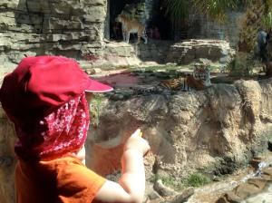 Tiger Observation